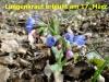 104-lungenkraut-17-4-2013